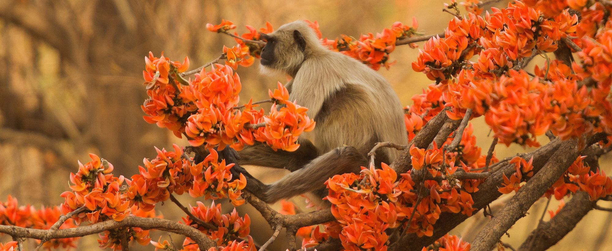 Cropped-for-banner---Langur_on_flame_of_Forest_tree-Atul-Dhamanker-compressor