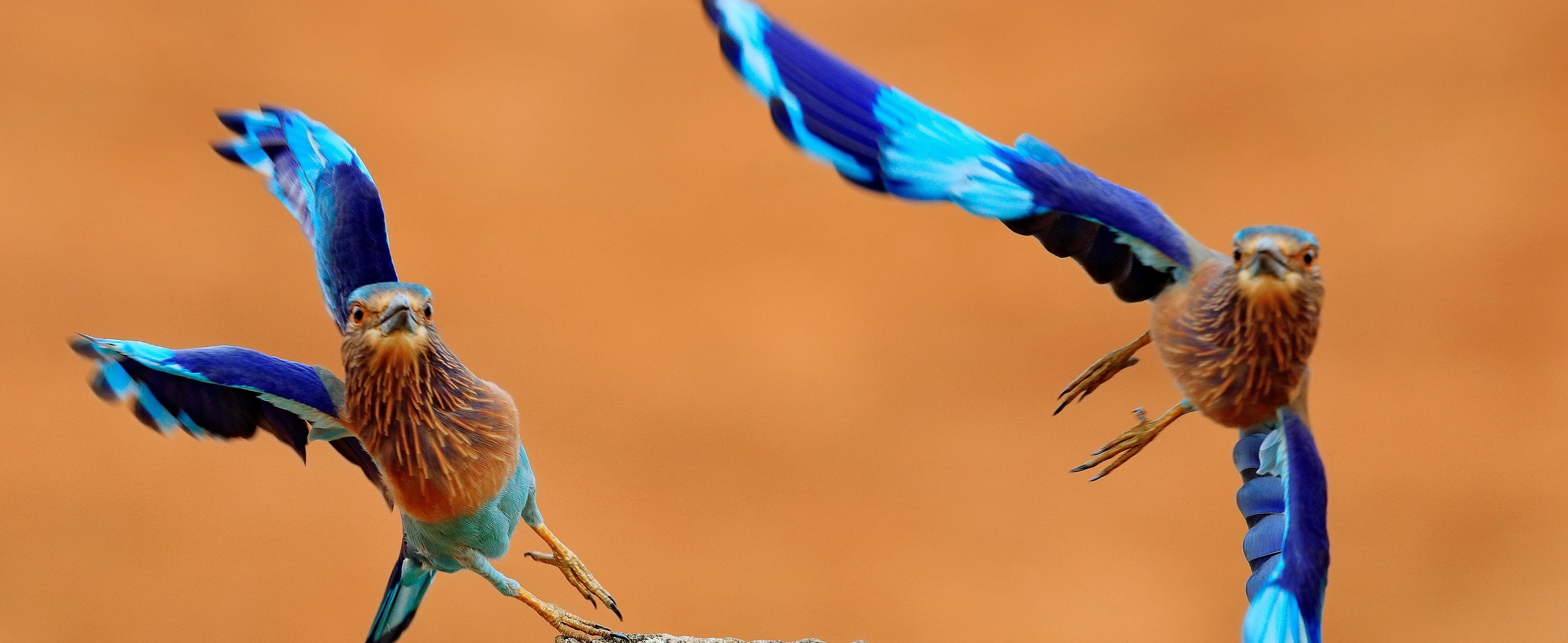 Cropped-for-banner-Indian-rollers-Shutterstock-compressor