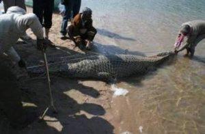 gharial crises
